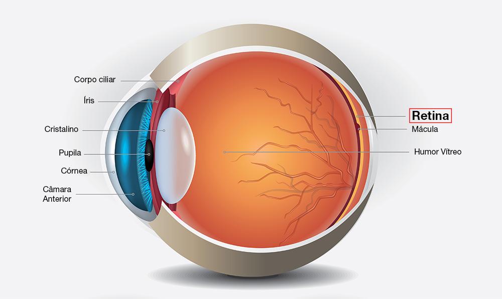 anatomia olho retina imo
